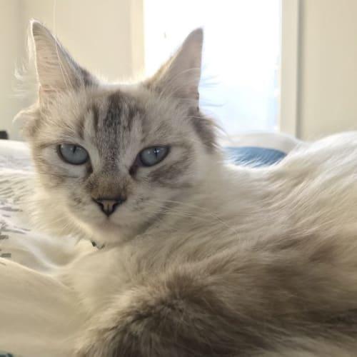 Pearl - Ragdoll Cat
