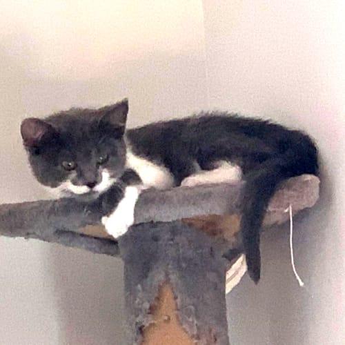 Maeve - Domestic Short Hair Cat