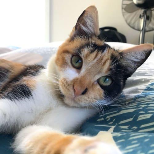 Rachael - Domestic Short Hair Cat