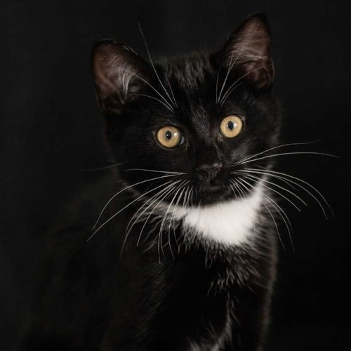 Chevy - Domestic Short Hair Cat
