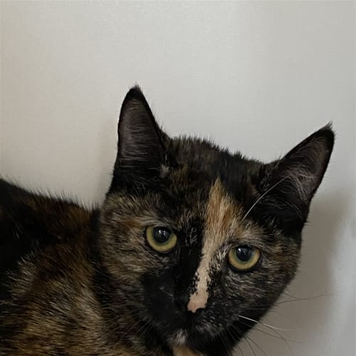 Marie - Dsh Cat