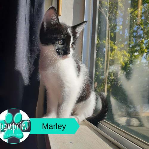 Marley - Domestic Short Hair Cat