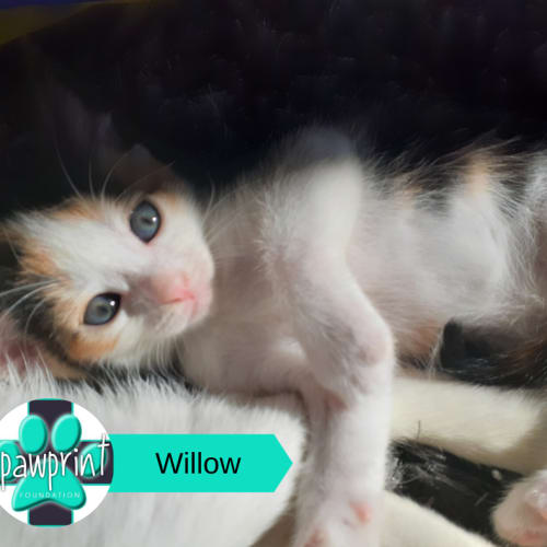 Willow - Domestic Short Hair Cat