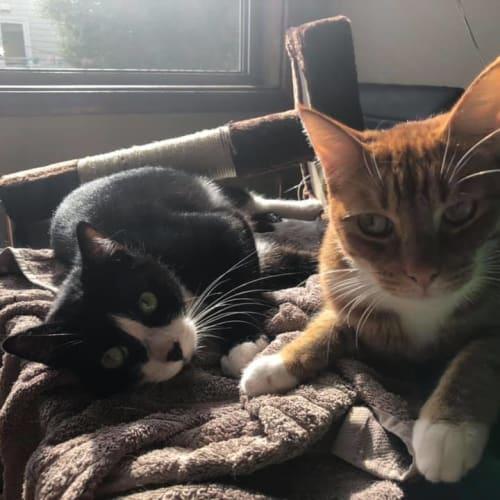 Tuna & Fish - Domestic Short Hair Cat