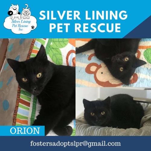 Orion - Domestic Short Hair Cat