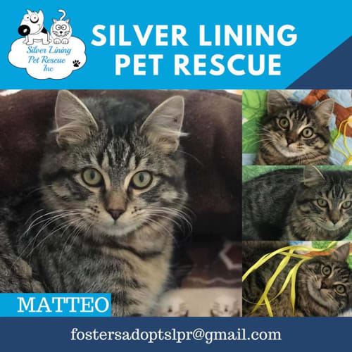 Matteo - Domestic Medium Hair Cat