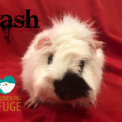 Dash - Abyssinian Guinea Pig