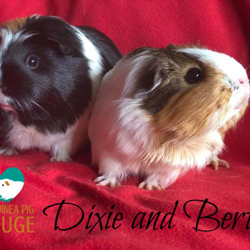 Dixie and Berta - Smooth Hair Guinea Pig