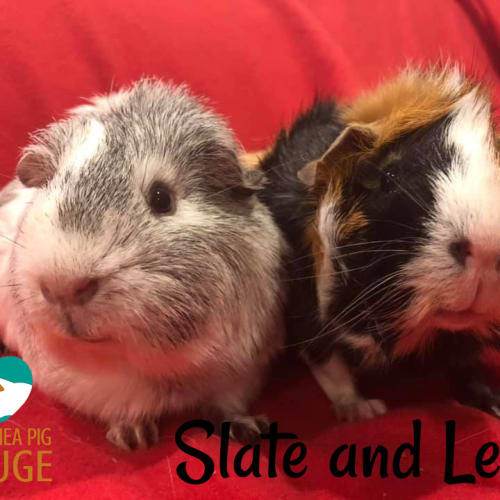 Slate (desexed male) and Lexi - Abyssinian x Smooth Hair Guinea Pig
