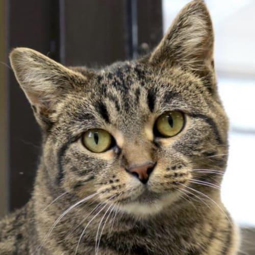 Gus ~ 2yr Old Tabby - Domestic Medium Hair Cat