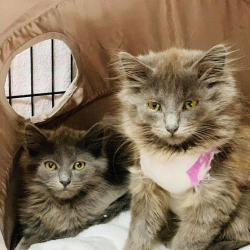 3387/3388 - Flooffball & Fluffball - Domestic Medium Hair Cat
