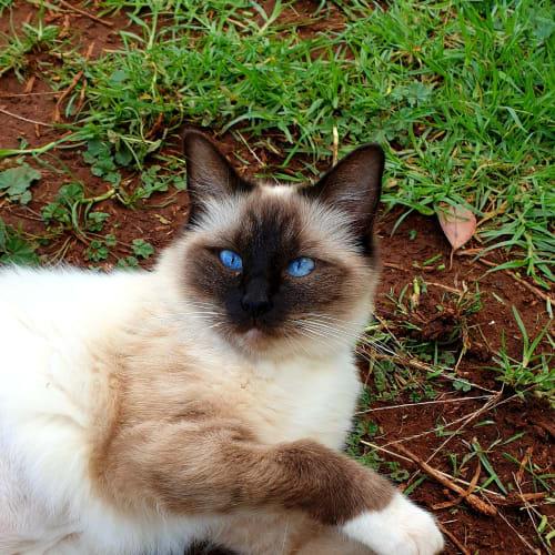 Kit Kat - Ragdoll Cat