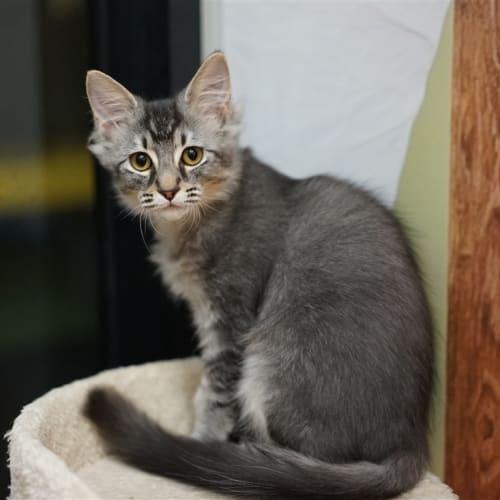 Alfie - Domestic Medium Hair x Somali Cat