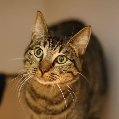 Meka - Domestic Short Hair Cat