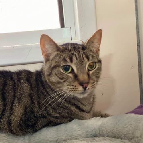 Harvey - Domestic Short Hair Cat