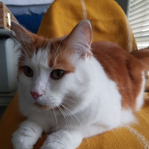 Samson - Domestic Medium Hair Cat