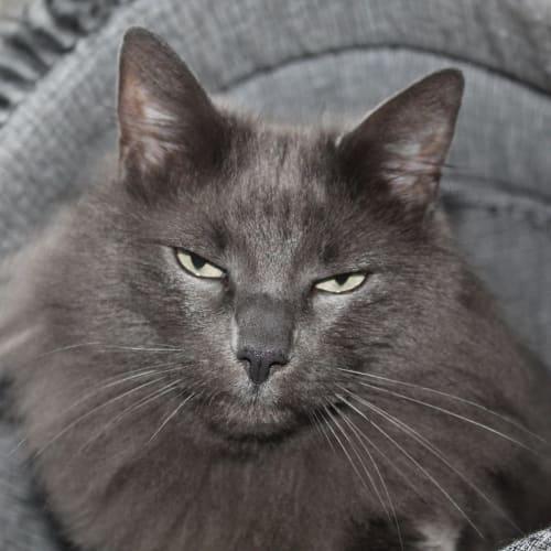 Misty - Birman x Siamese Cat