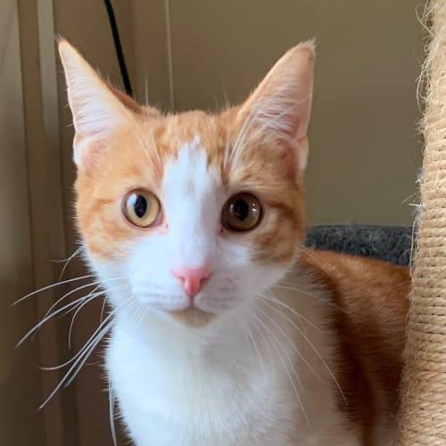 Jamie - Domestic Short Hair Cat