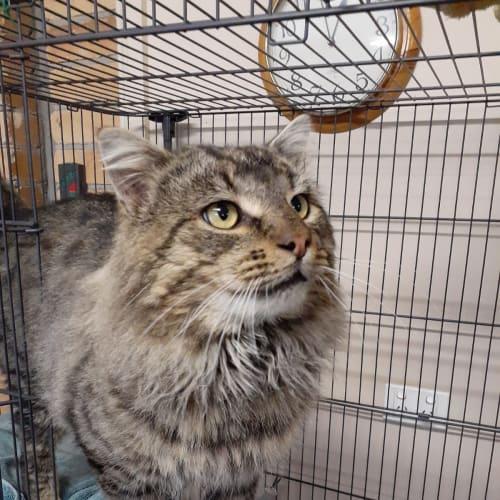 Leo - Domestic Long Hair Cat