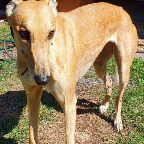 Jazzy - Greyhound Dog