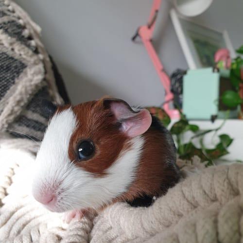 Maisey  -  Guinea Pig