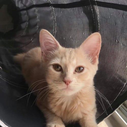 Vixen - Domestic Medium Hair Cat
