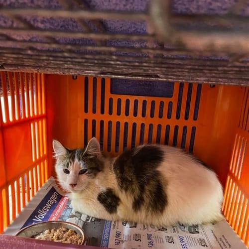 Shan - Domestic Medium Hair Cat