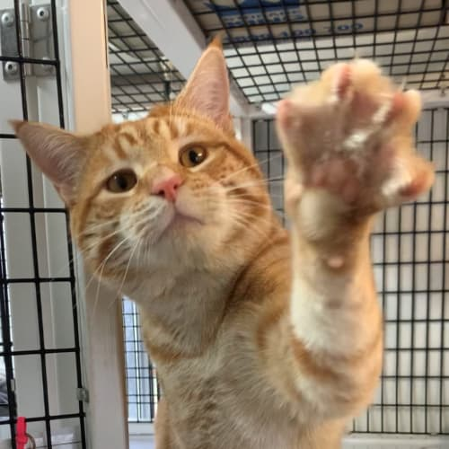 Baker - Domestic Short Hair Cat