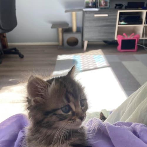 Zach - Domestic Medium Hair Cat