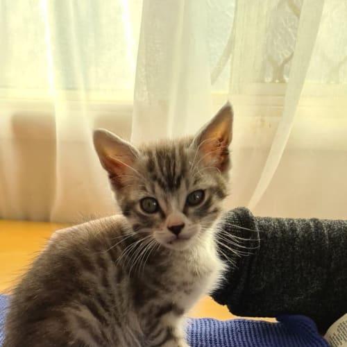 Abbie - Domestic Short Hair Cat