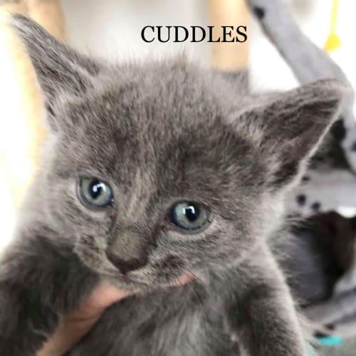 Cuddles - Russian Blue Cat