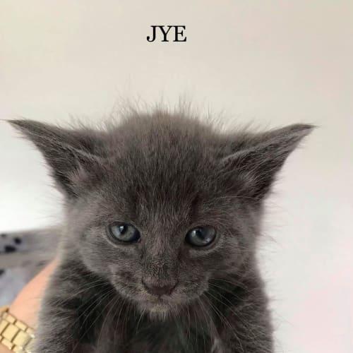 Jye - Russian Blue Cat