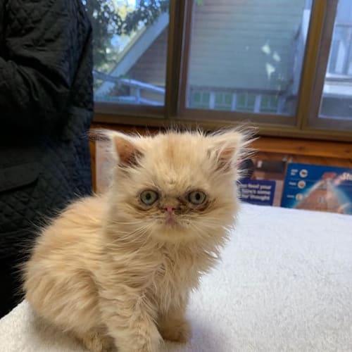 Yoda - Persian Cat