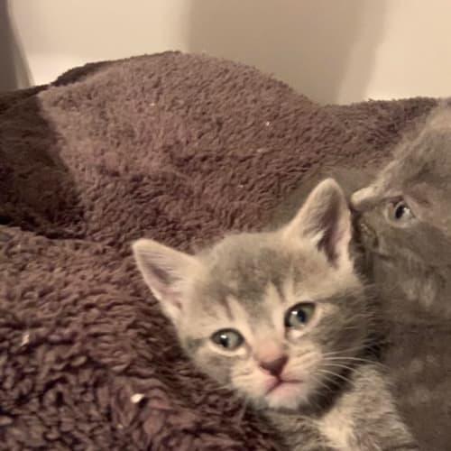 Pasha - Russian Blue Cat