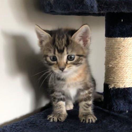 Paige - Domestic Medium Hair Cat