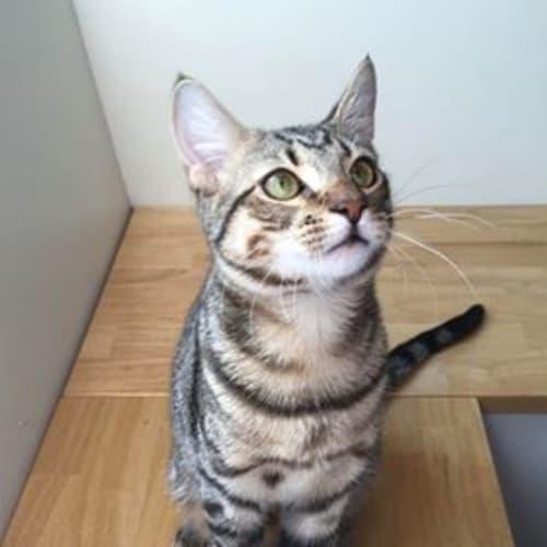 Neo - Domestic Short Hair Cat