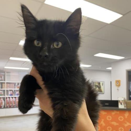 Nora - Domestic Medium Hair Cat