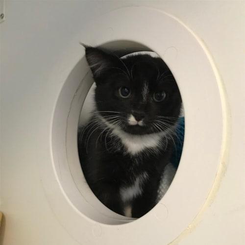 Percy - Dsh Cat