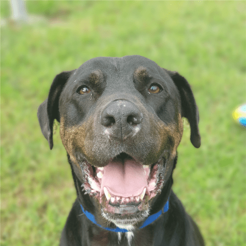Jett ** Will Be Your Best Mate ** - Rottweiler Dog