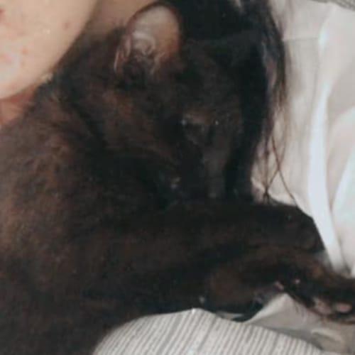 Francesca - Havana x Domestic Short Hair Cat