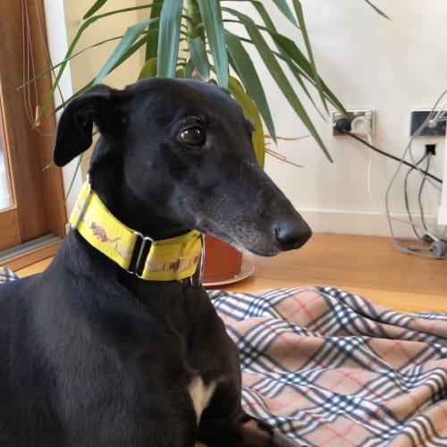 Annie.   Melbourne - Greyhound Dog