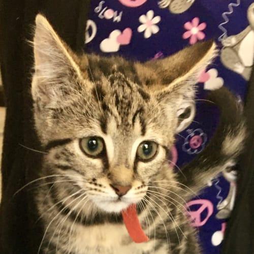 Cola - Domestic Short Hair Cat