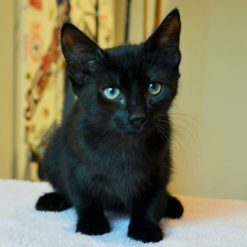 Olea - Domestic Short Hair Cat