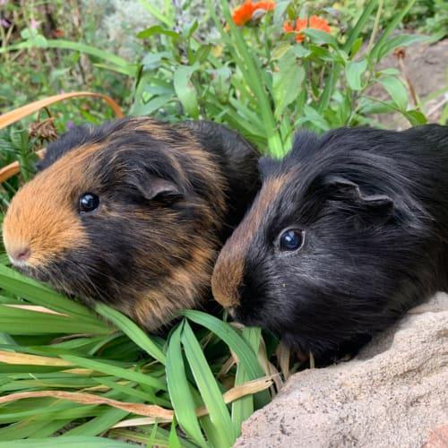 Buddy & Chambers  - Smooth Hair Guinea Pig