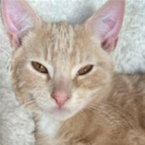 Guacamole  - Dsh Cat