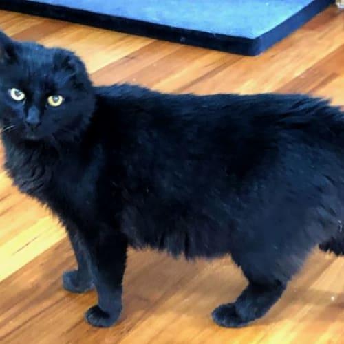 Malakai - Domestic Medium Hair Cat