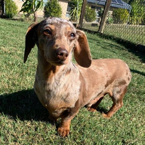 Chocky - Dachshund Dog