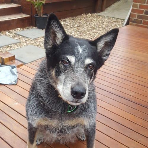 Zephyr Uchello - Australian Cattle Dog