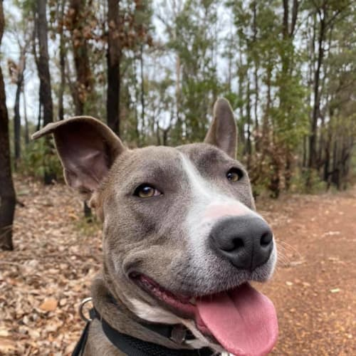 Oakley - Staffy Dog