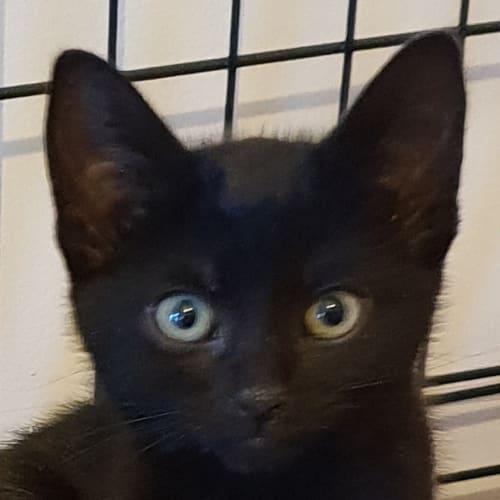 Lohan - Domestic Short Hair Cat